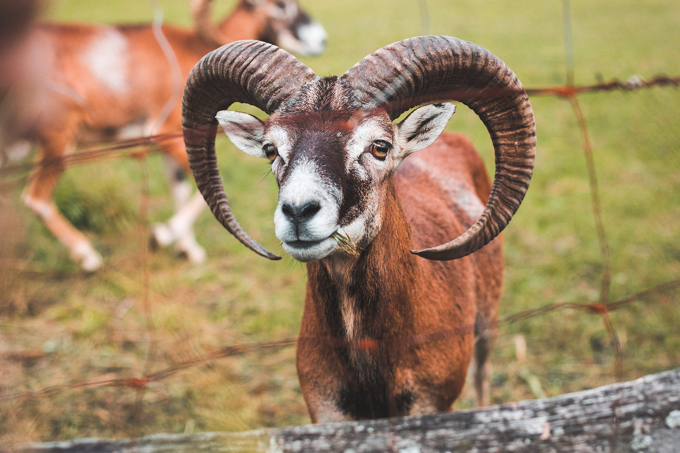 A Goat with Big Horns Behind the Fence Free Stock Photo