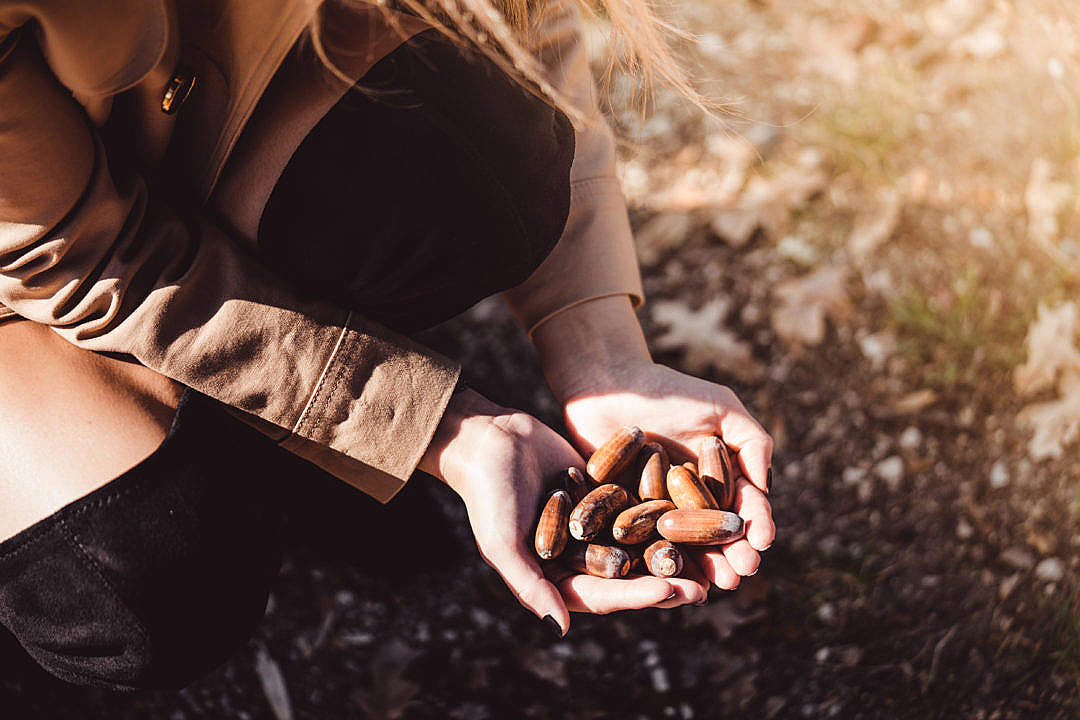 Download A Handful of Acorns FREE Stock Photo