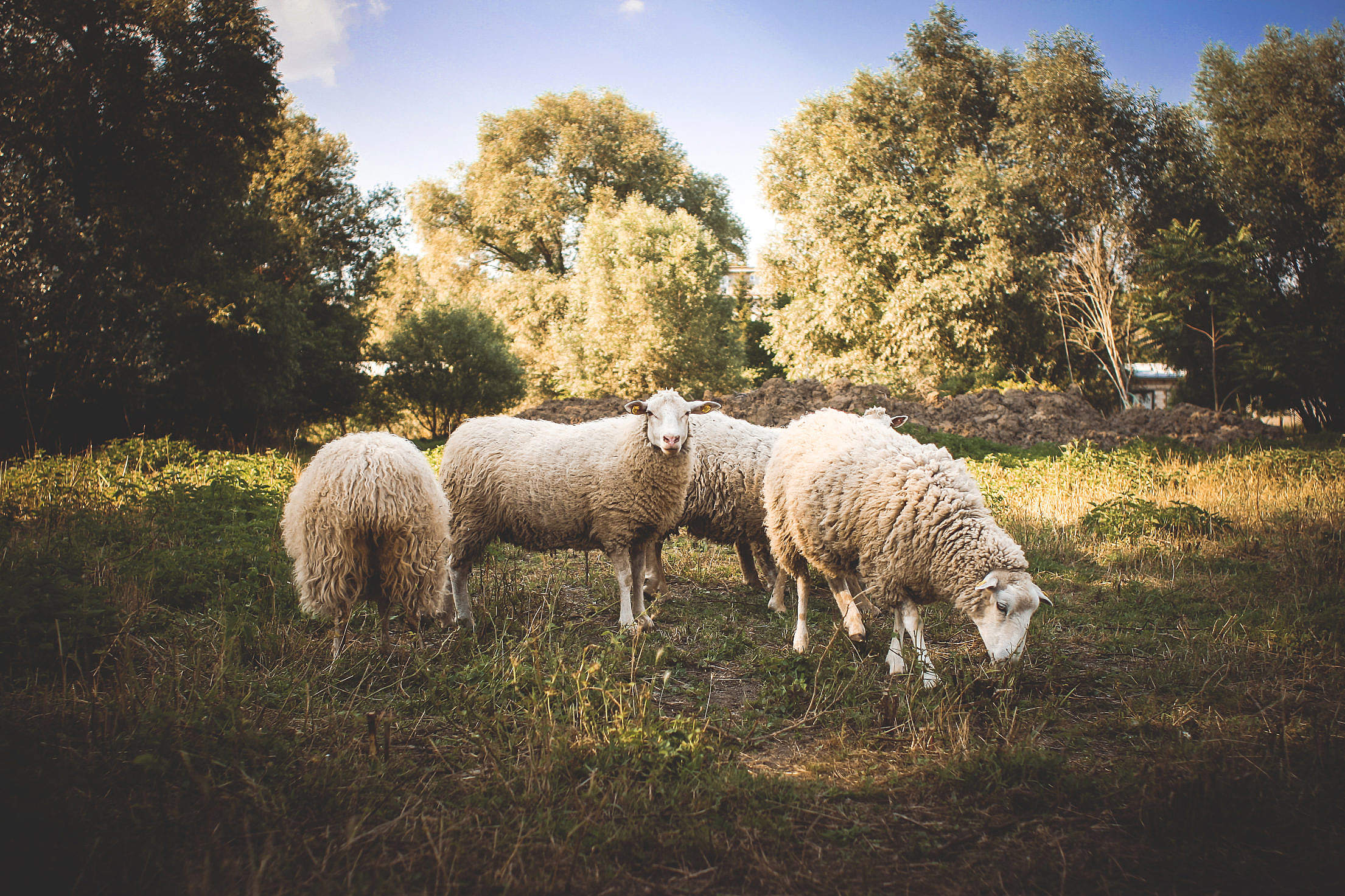 A Small Flock of Sheep Free Stock Photo