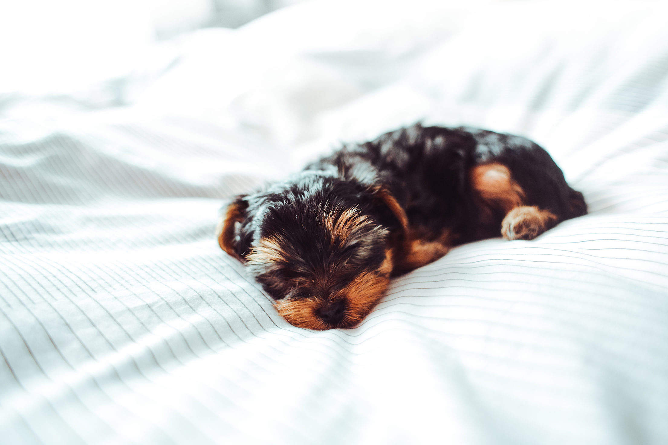 Adorable Sleeping Yorkshire Terrier Puppy Free Stock Photo