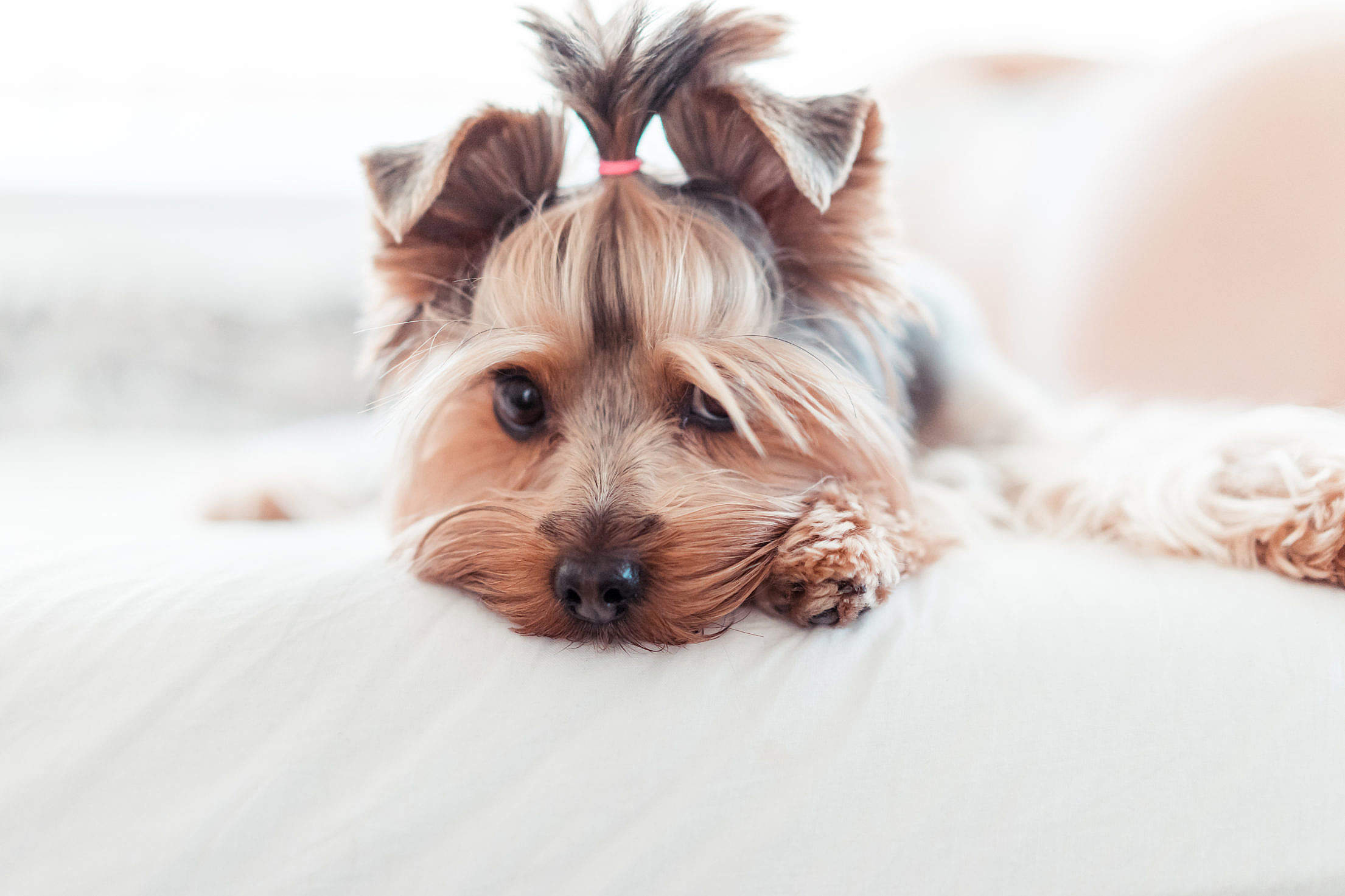 Adorable Yorkshire Terrier Puppy Innocent Look in Bed Free Stock Photo