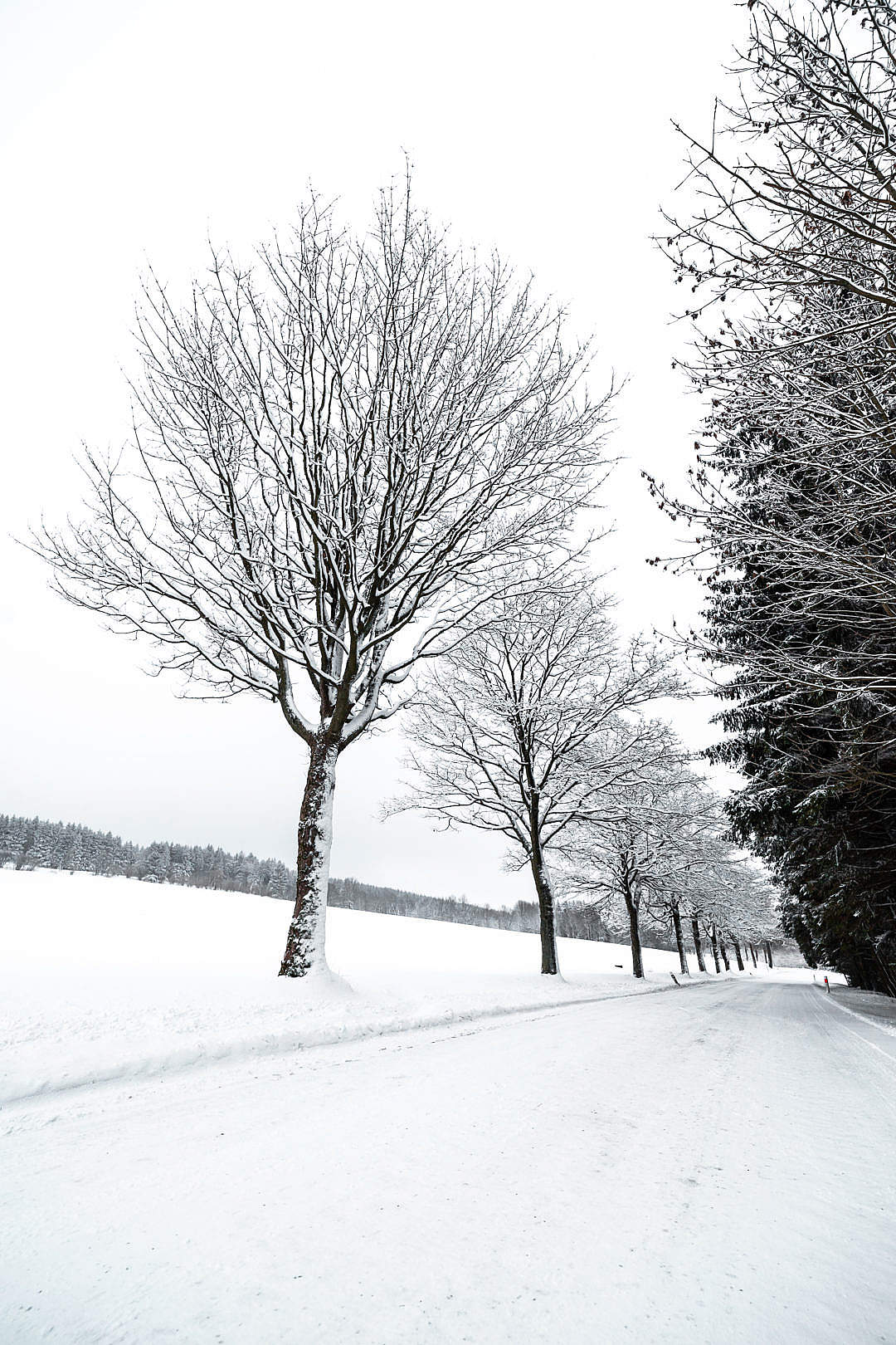 Download Alley of Trees Covered with Snow FREE Stock Photo