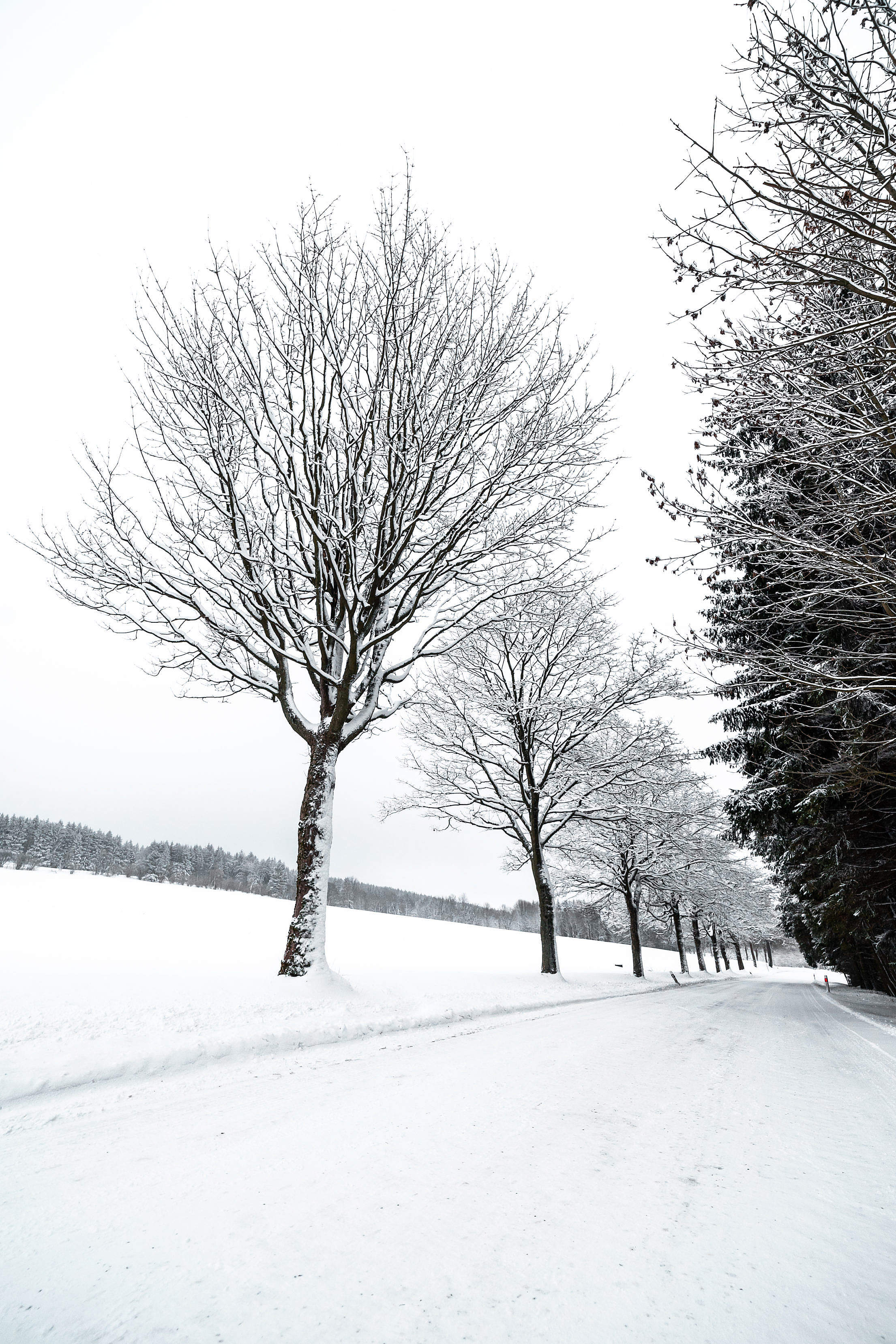 Alley of Trees Covered with Snow Free Stock Photo