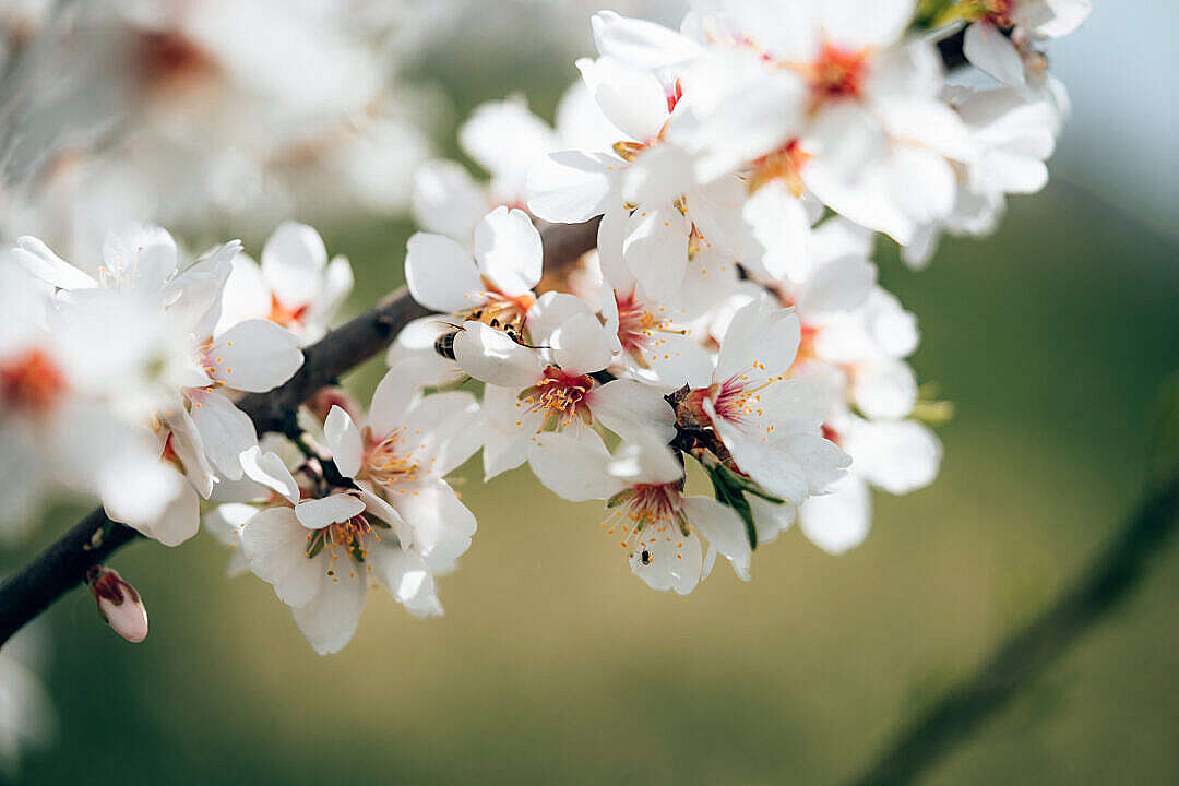Download Almond Tree Blossoms FREE Stock Photo