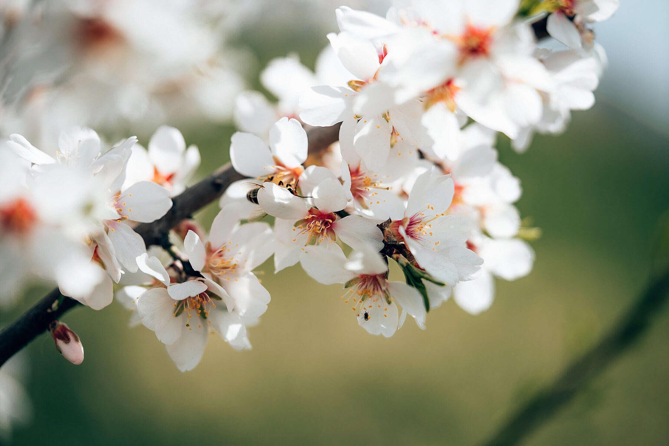 Almond Tree Blossoms Free Stock Photo