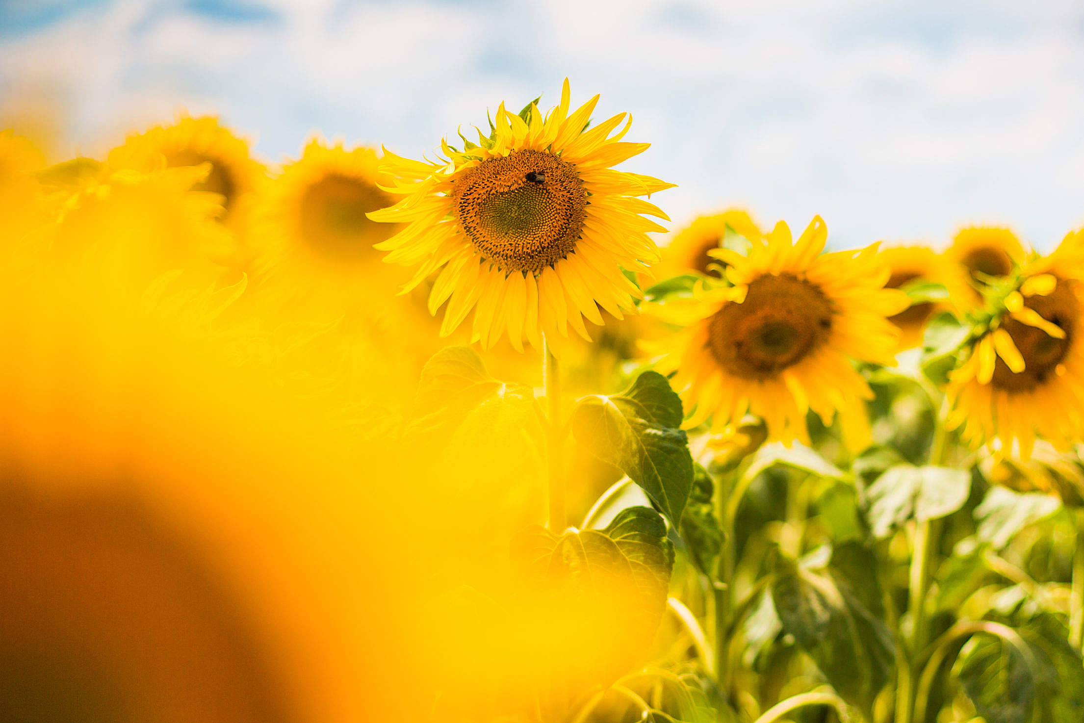 Another Colorful Sunflower Field Free Stock Photo