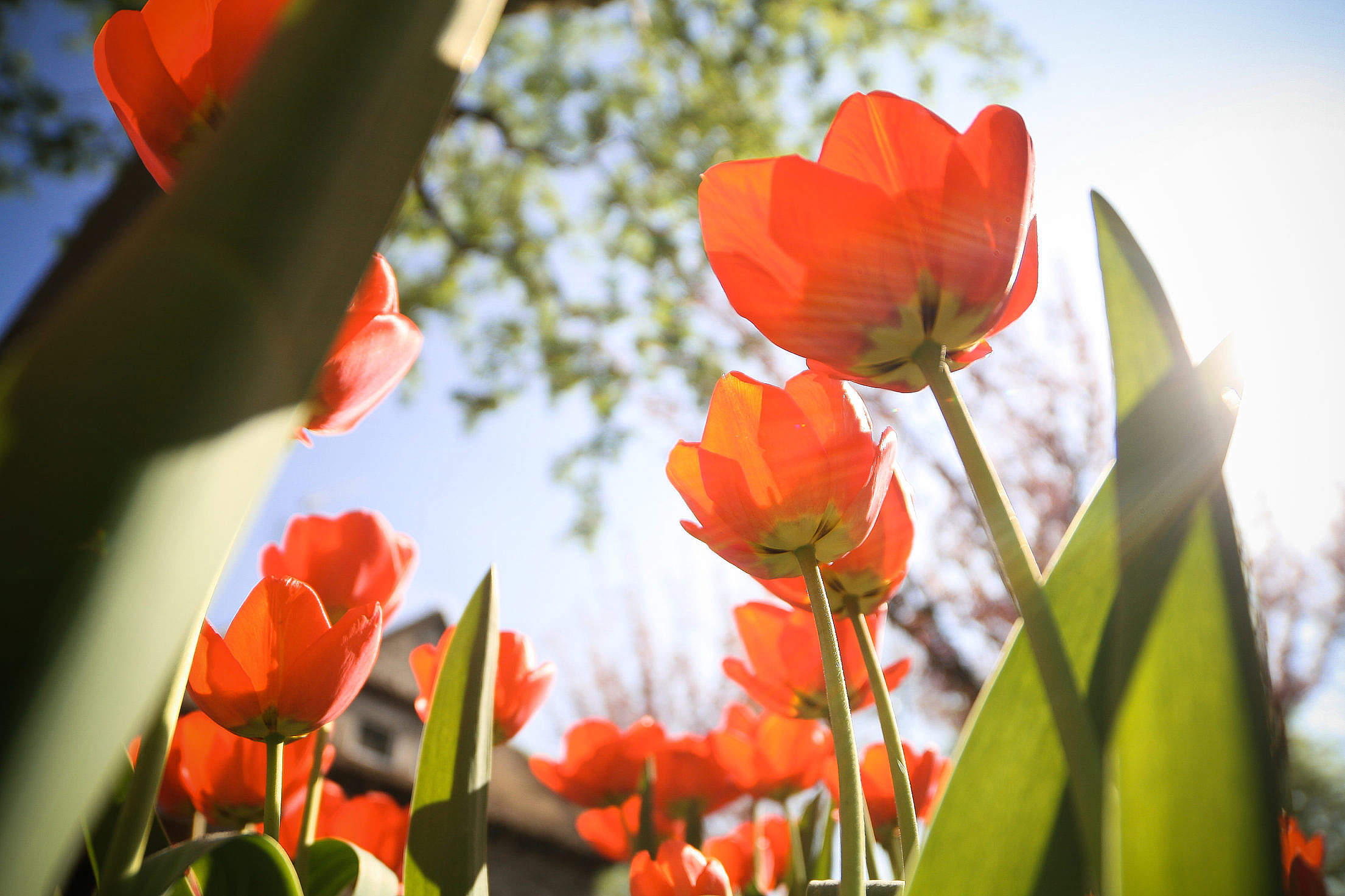 Another Tulips from below Free Stock Photo