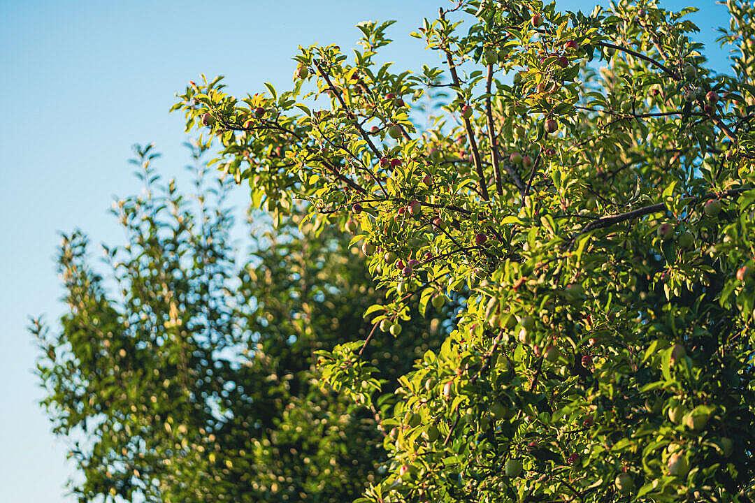 Download Apple Tree FREE Stock Photo