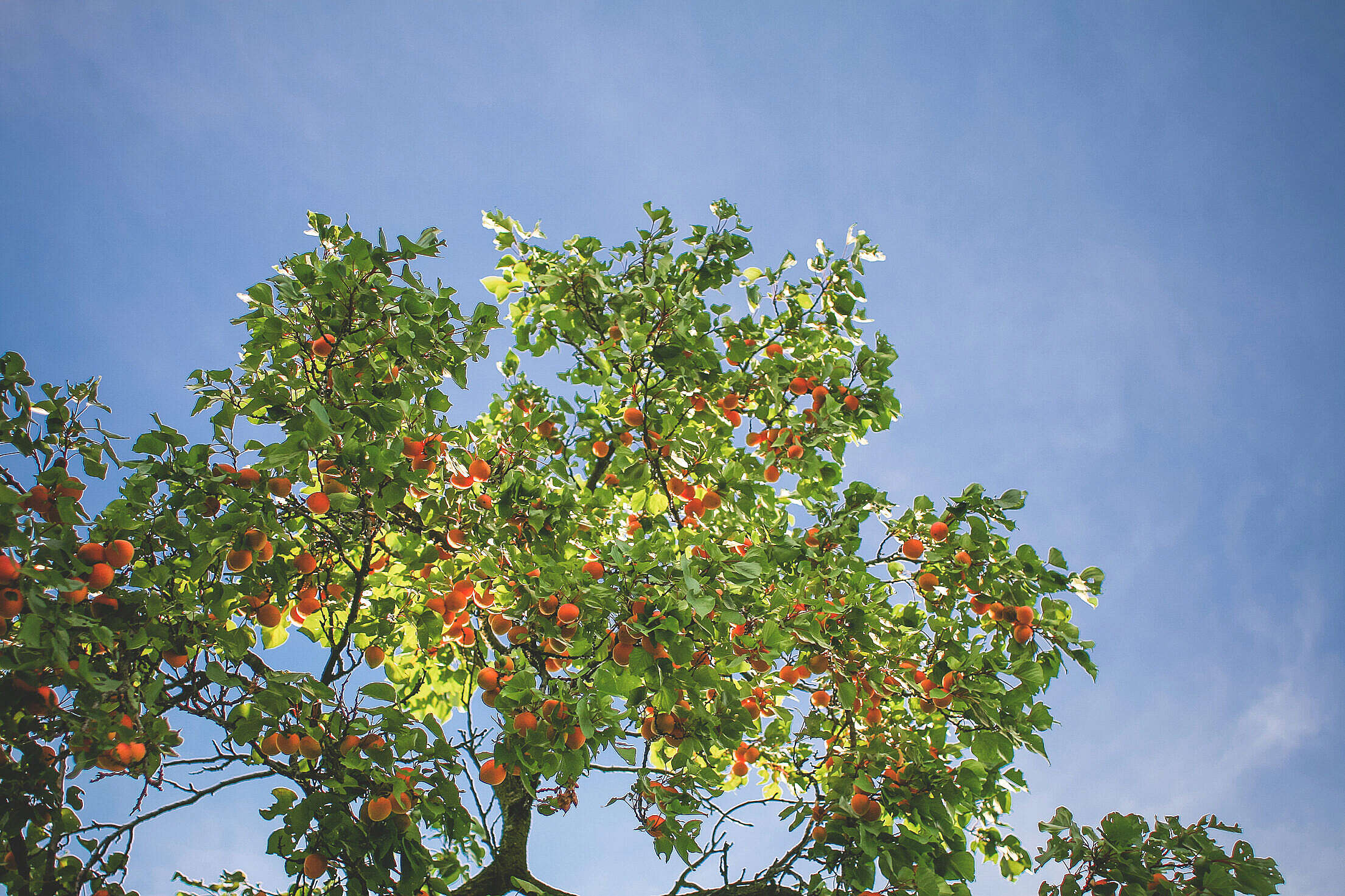 Apricot Tree in the Sky Free Stock Photo