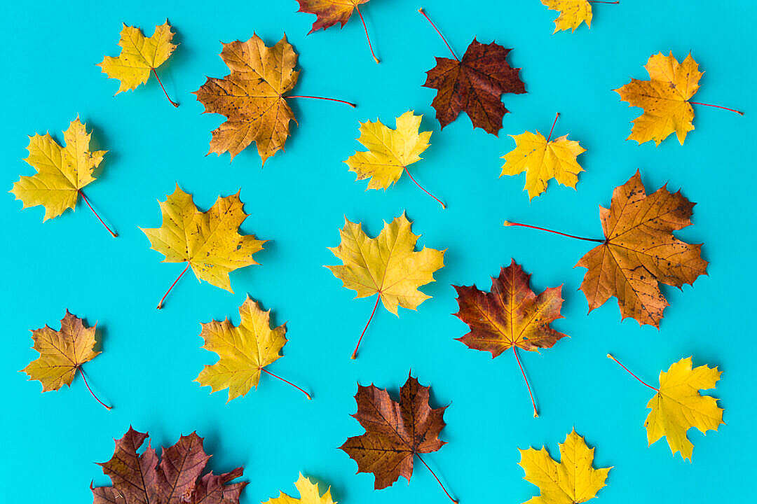Download Autumn Leaves on Flat Blue Background #2 FREE Stock Photo