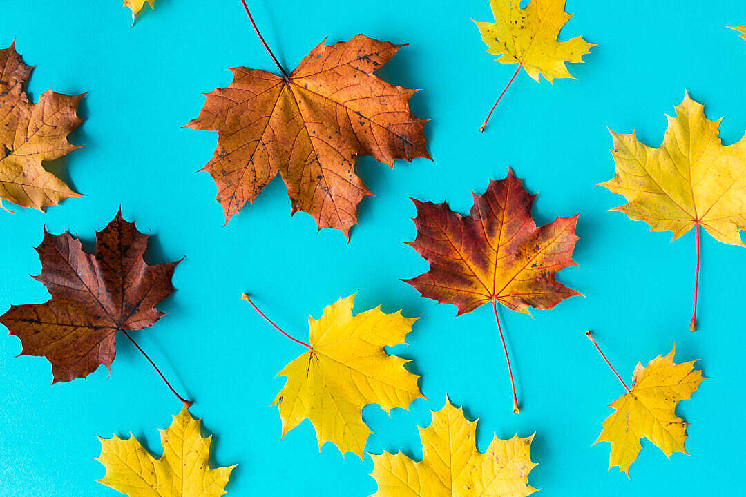 Download Autumn Leaves on Flat Blue Background FREE Stock Photo
