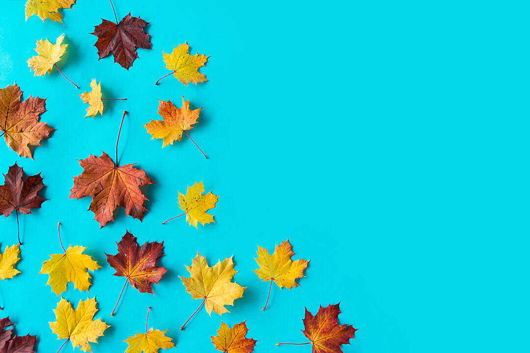 Download Autumn Leaves on Flat Blue Background with Room for Text FREE Stock Photo