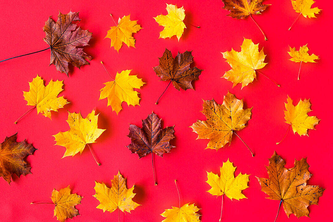 Download Autumn Leaves on Flat Red Background FREE Stock Photo