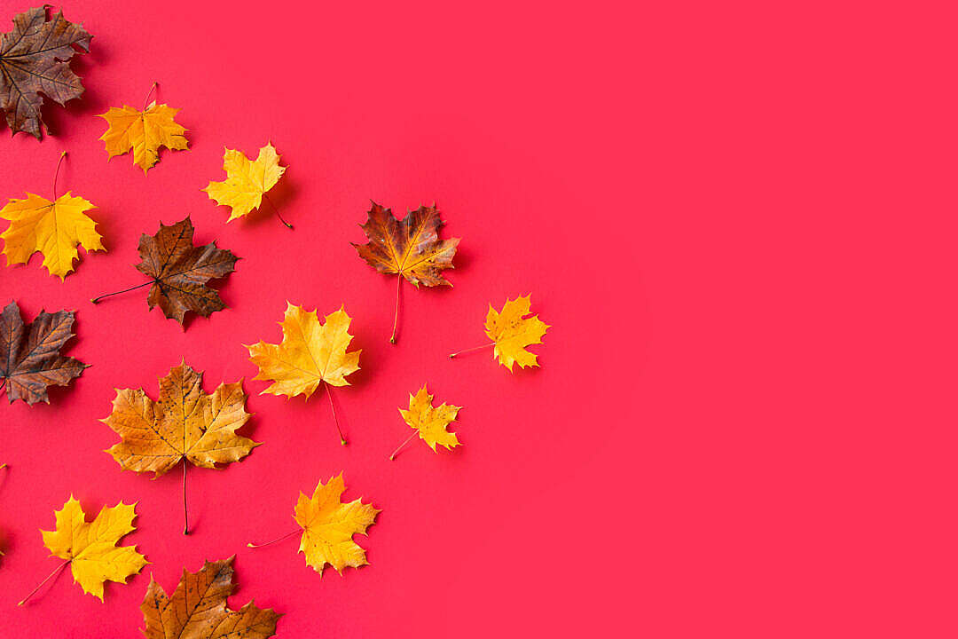Download Autumn Leaves on Flat Red Background with Room for Text #3 FREE Stock Photo