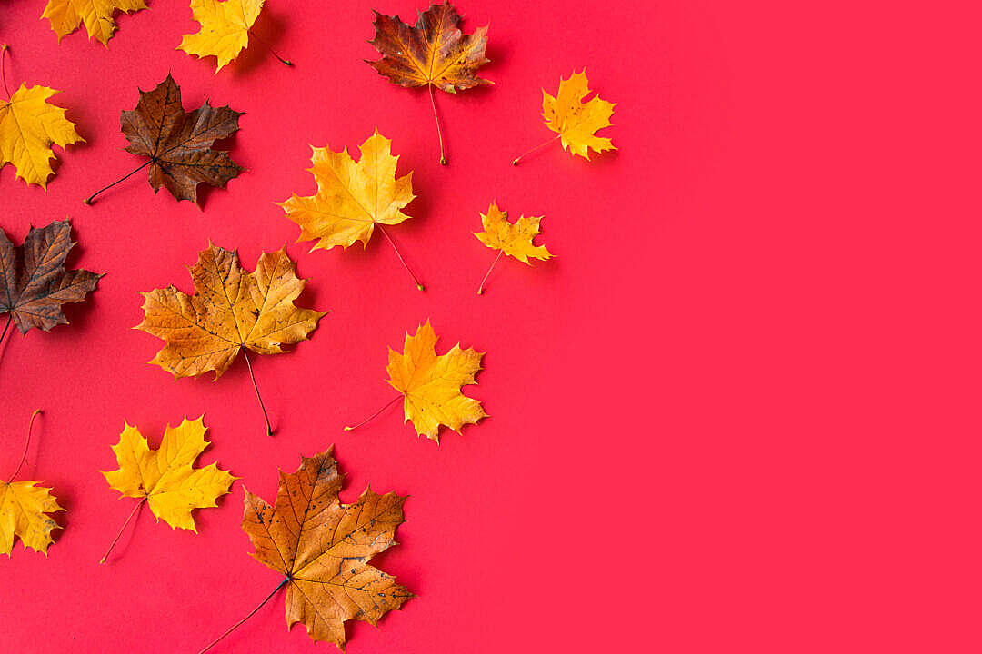 Download Autumn Leaves on Flat Red Background with Room for Text FREE Stock Photo