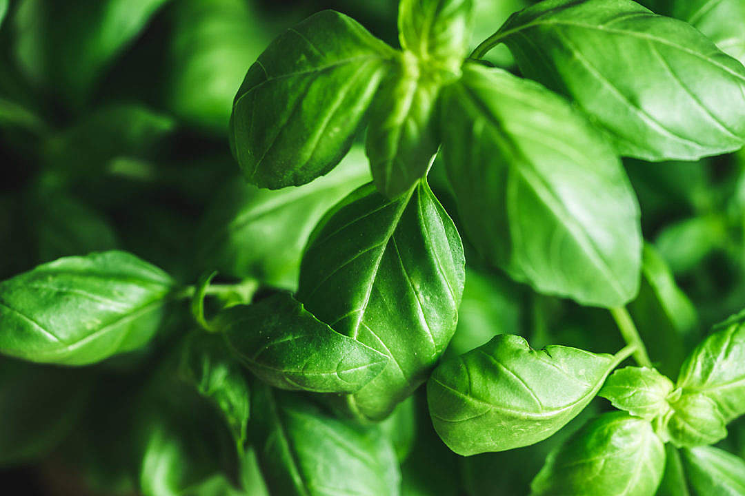 Download Basil Leaves FREE Stock Photo