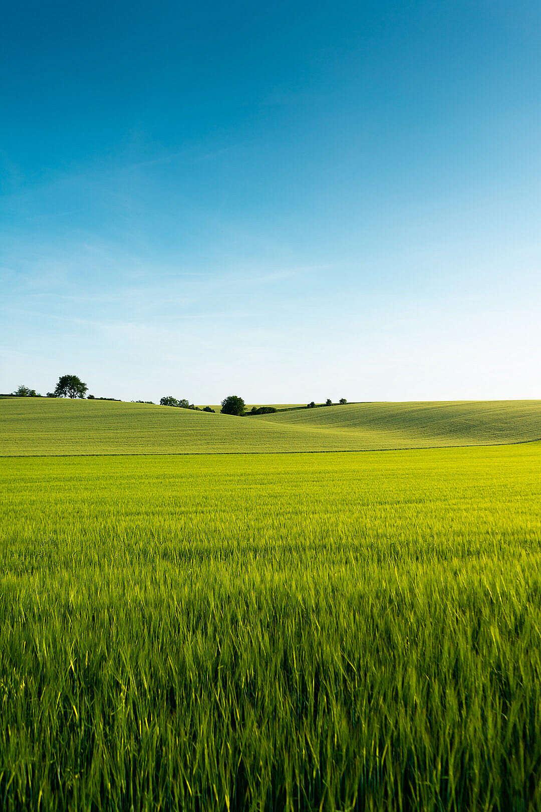 Download Beautiful Green Wheat Field FREE Stock Photo