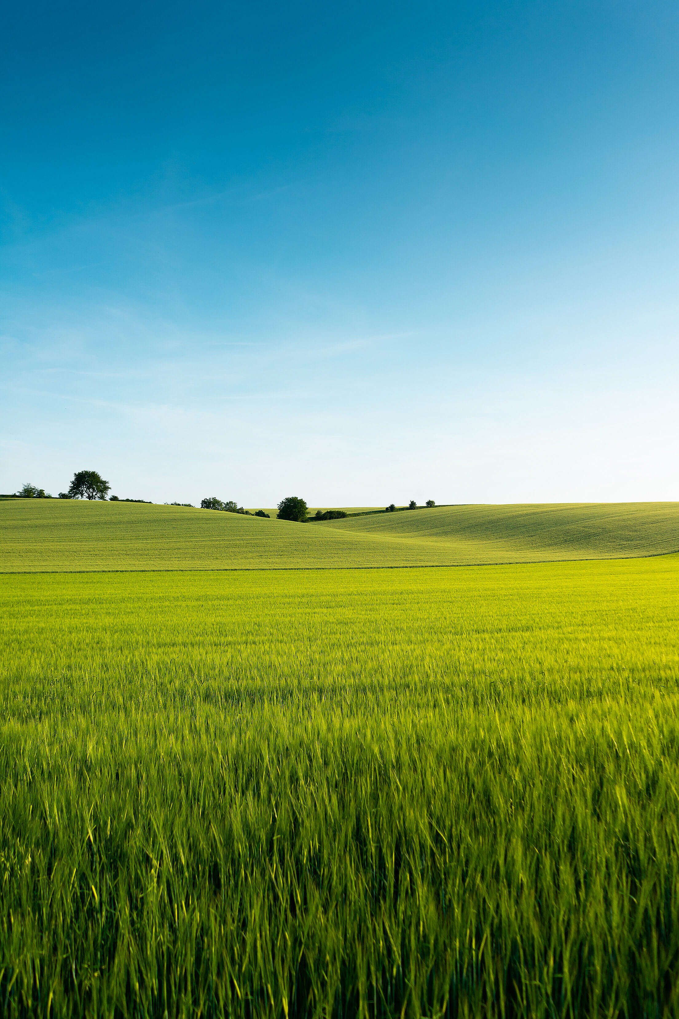Beautiful Green Wheat Field Free Stock Photo