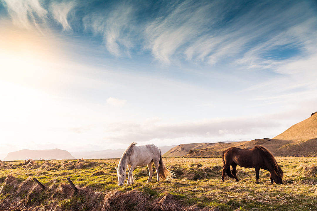 Download Beautiful Horses on Iceland FREE Stock Photo