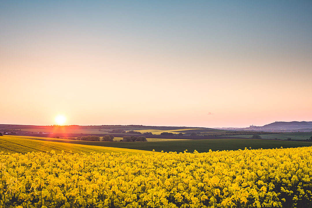 Download Beautiful Sunset Over The Yellow Rapeseed Field FREE Stock Photo