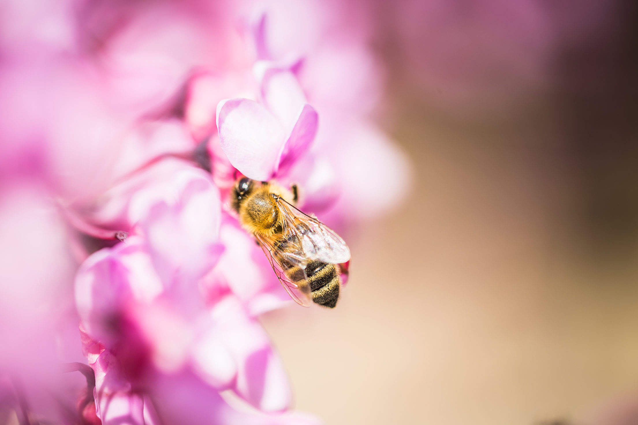 Bee at Work Close Up Free Stock Photo