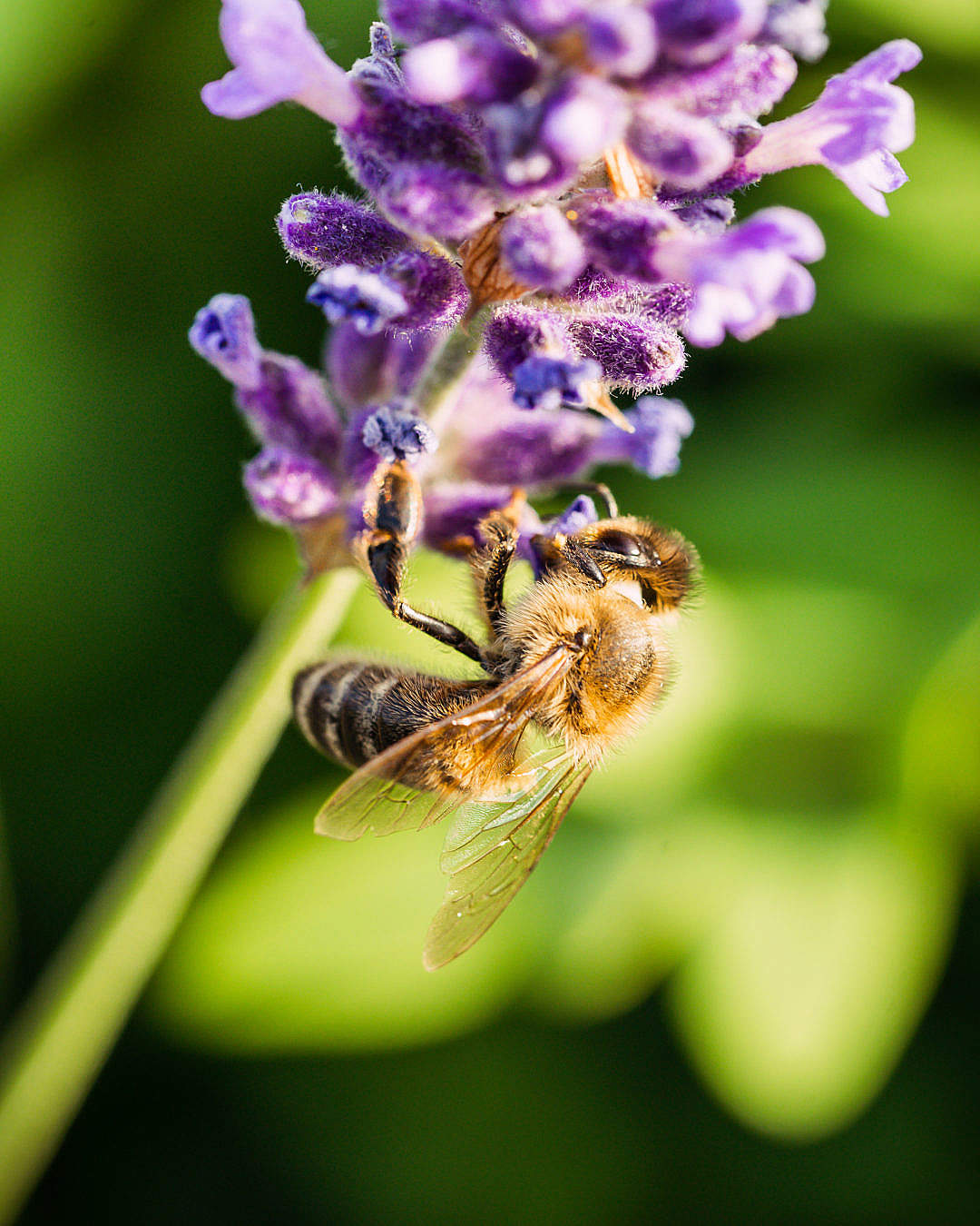 Download Bee Working on a Lavender Flower FREE Stock Photo
