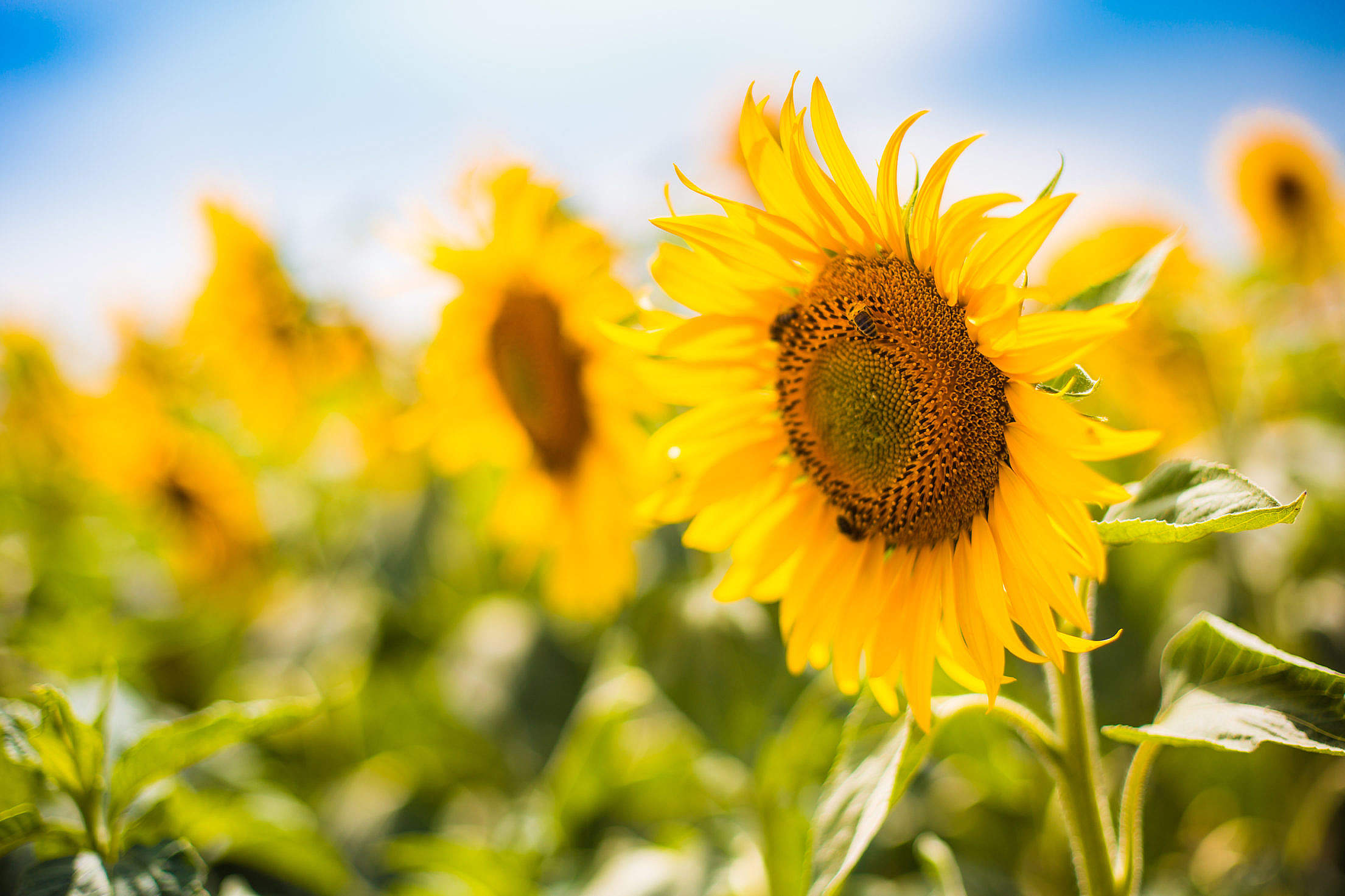 Bees Working on a Big Colorful Sunflower Free Stock Photo