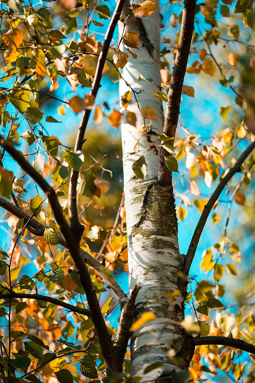 Download Birch Tree FREE Stock Photo