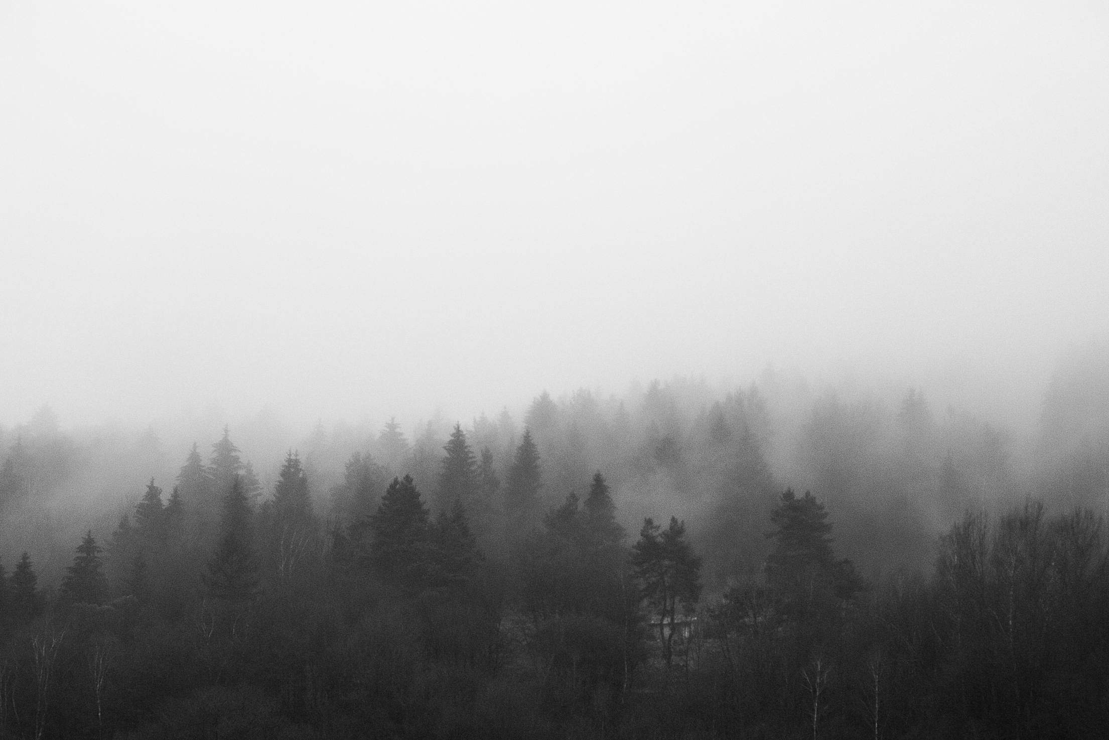 Black and White Morning Foggy Forest Free Stock Photo