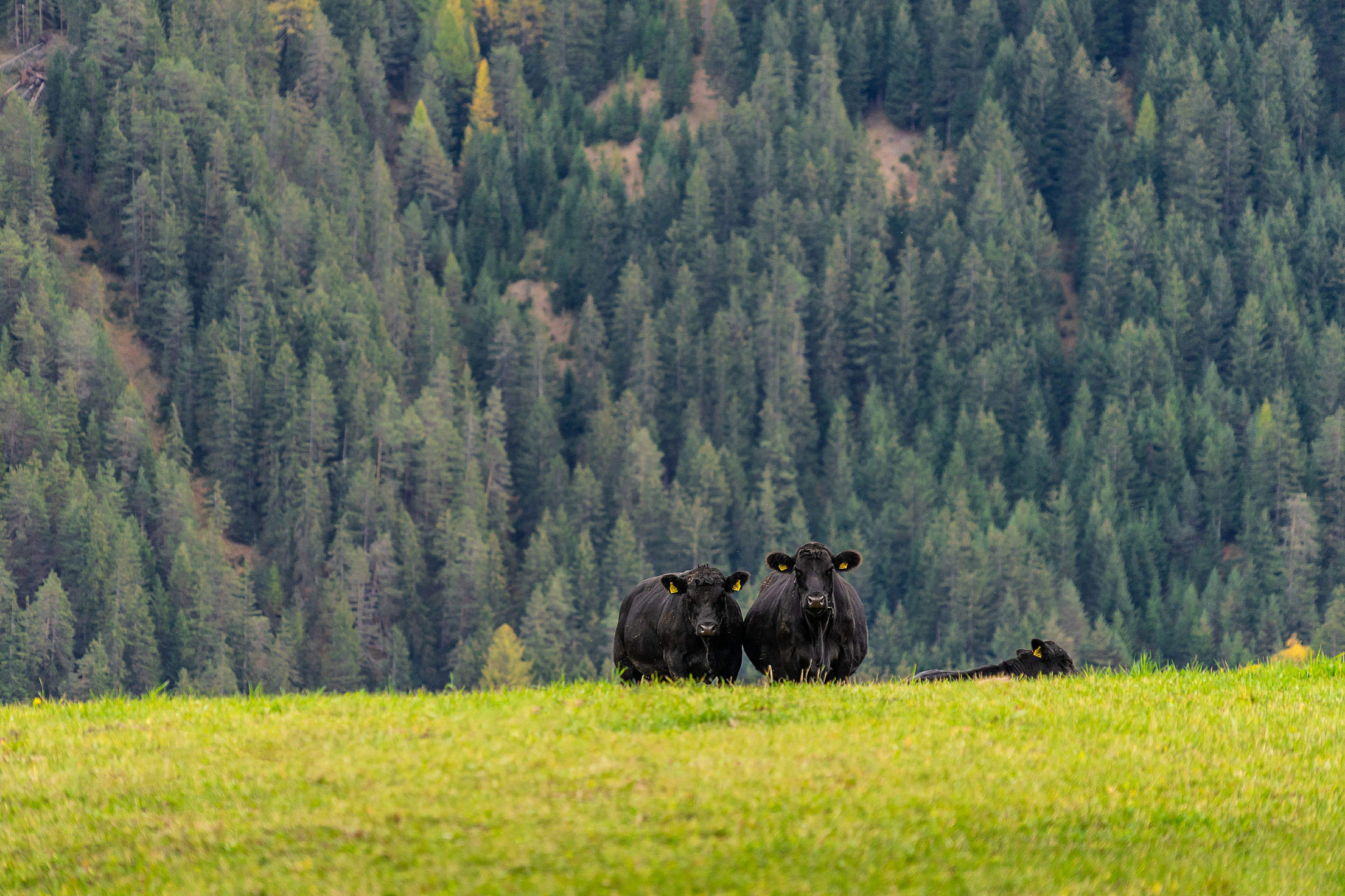 Black Cows Looking Into Camera Free Stock Photo