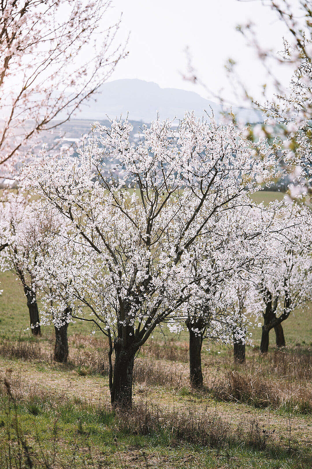 Download Blooming Almond Trees FREE Stock Photo