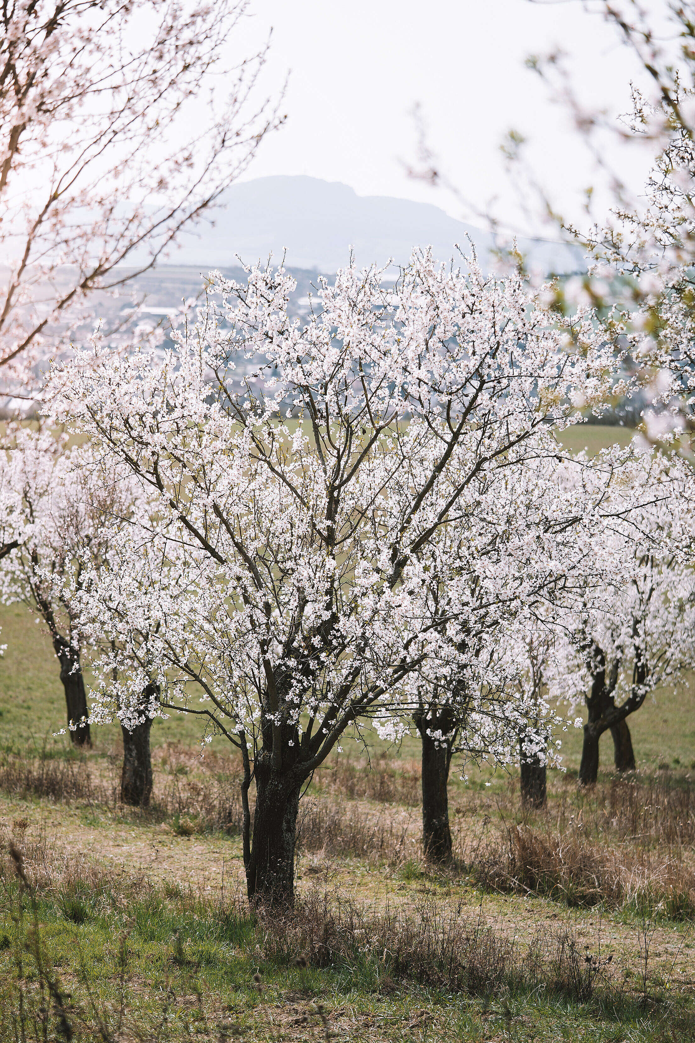 Blooming Almond Trees Free Stock Photo