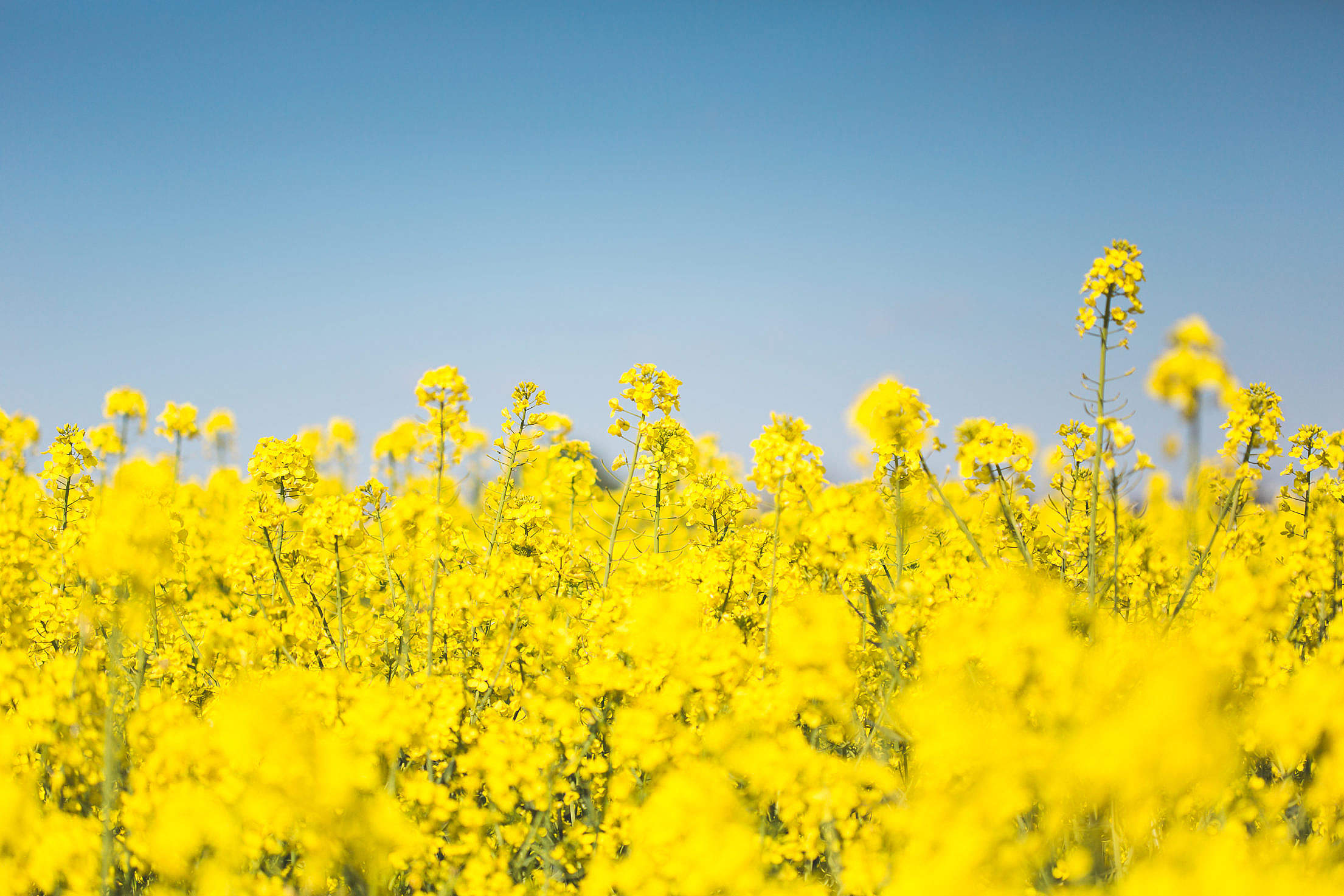 Blooming Canola Rapeseed Field Free Stock Photo