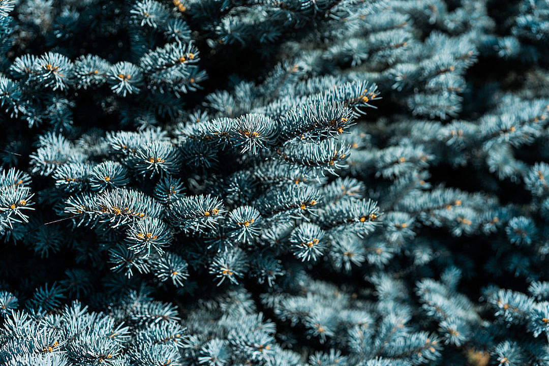 Download Blue Conifer Tree FREE Stock Photo