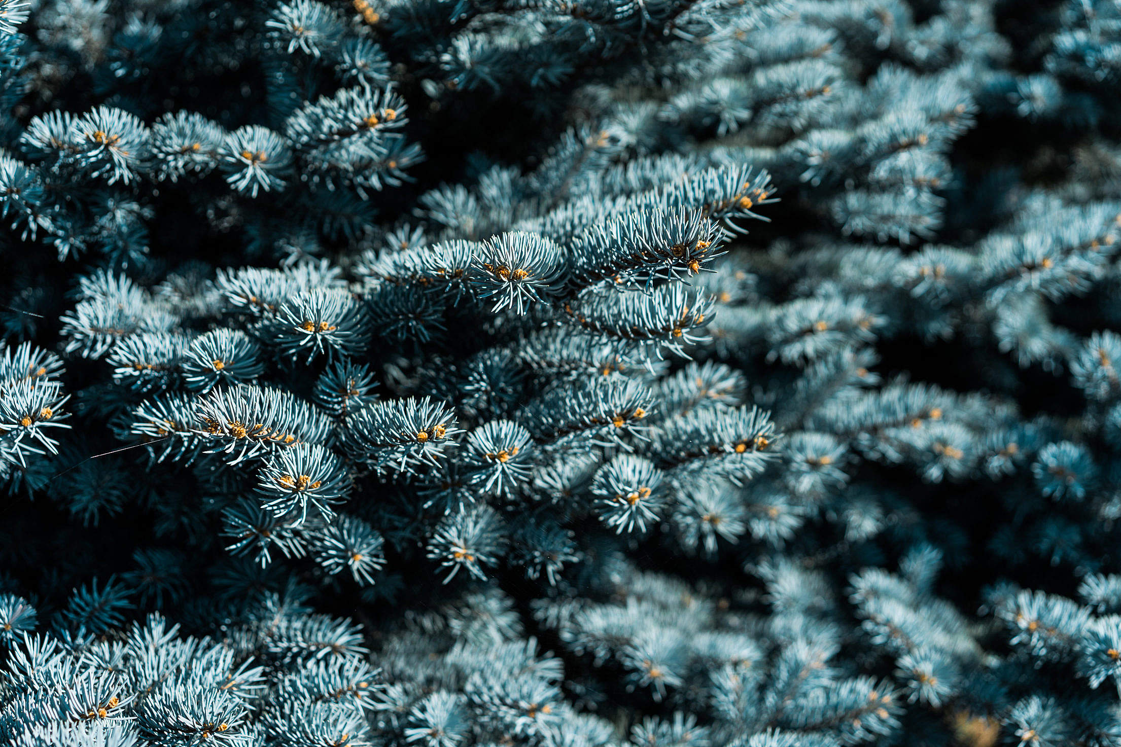 Blue Conifer Tree Free Stock Photo
