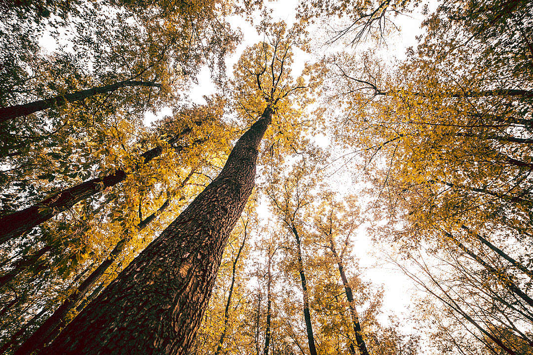 Download Bottom View Into The Treetops FREE Stock Photo