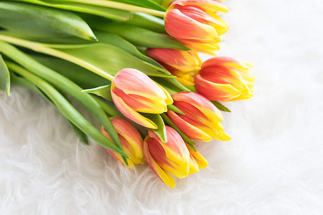 Download Bouquet of Kees Nelis Tulips on White Synthetic Pelt FREE Stock Photo