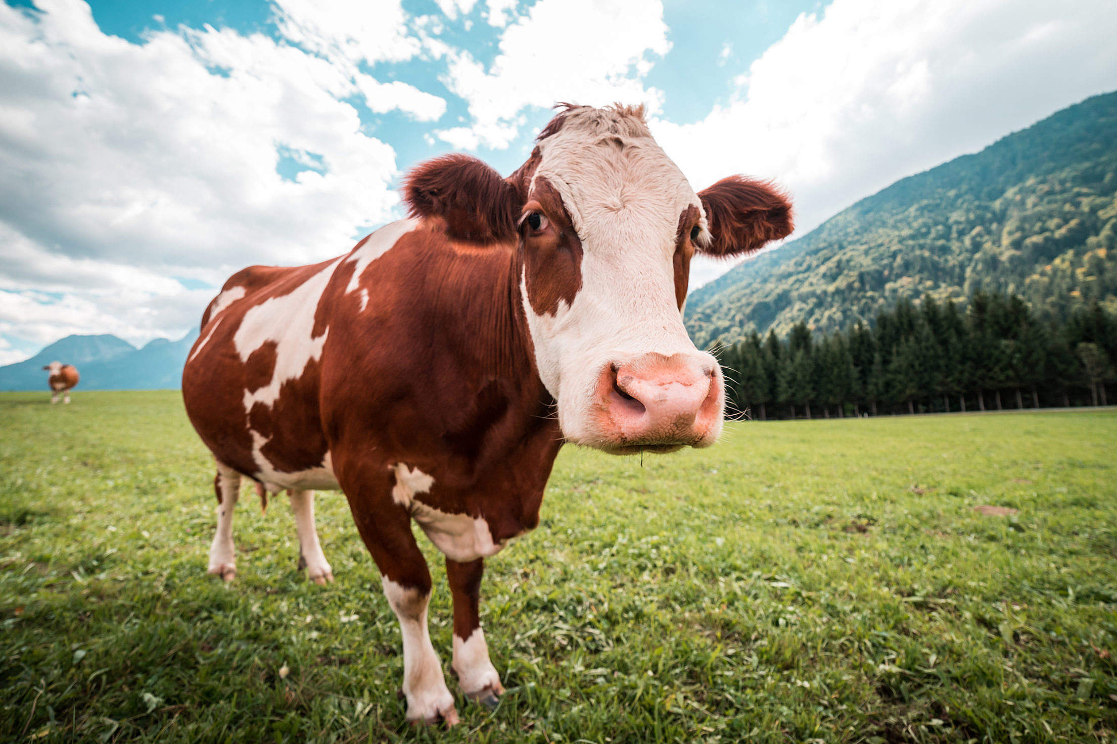 Brown and White Cow in Pasture Free Stock Photo