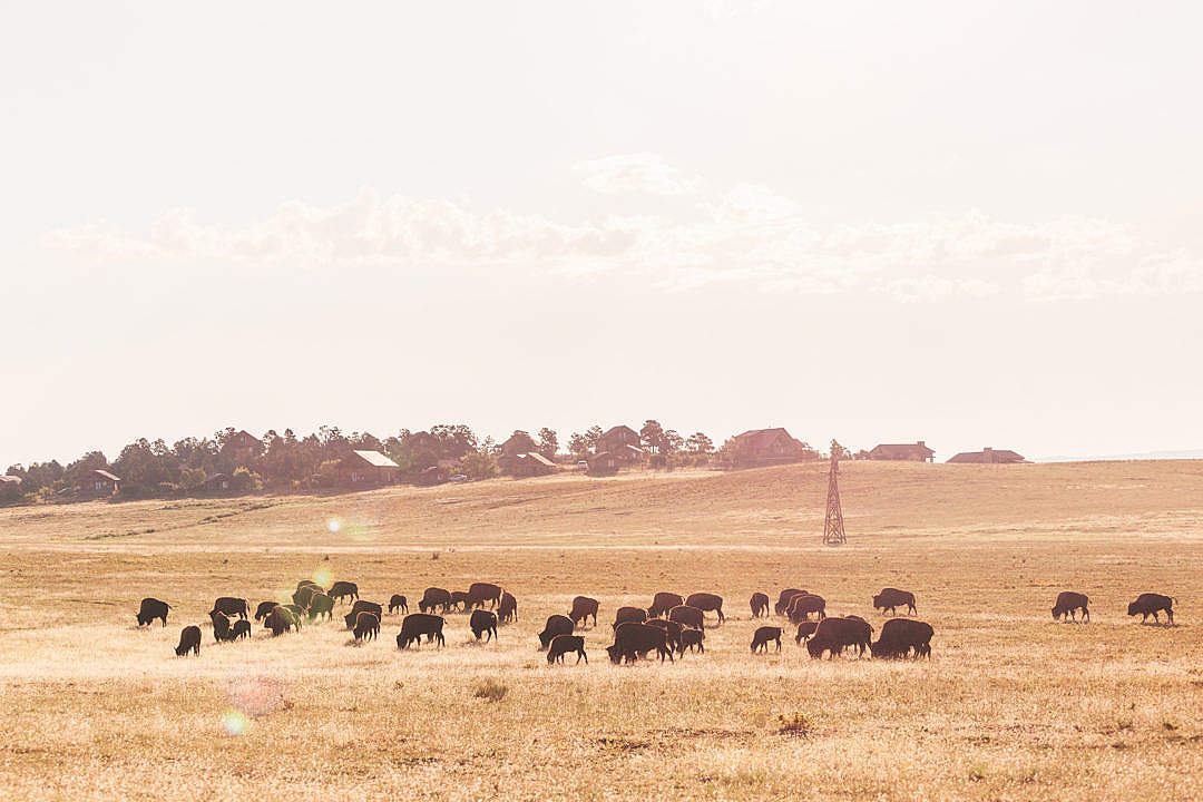 Download Buffalo Herd on a Field at Sunrise FREE Stock Photo