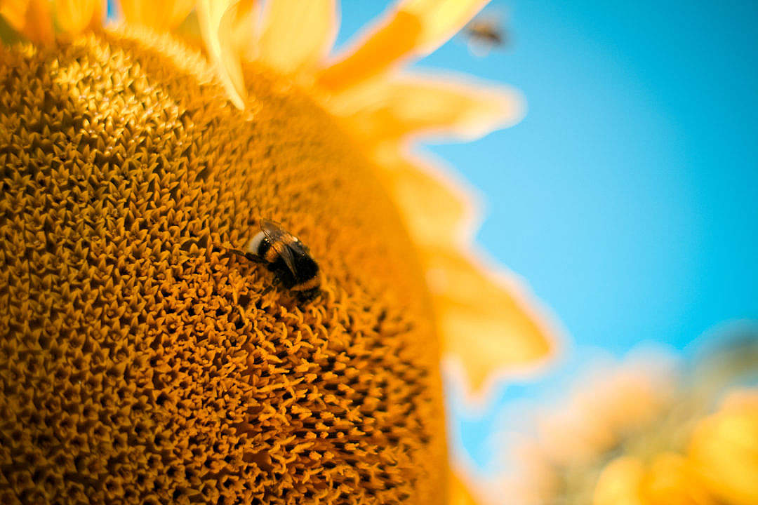 Download Bumble-Bee on the Sunflower FREE Stock Photo