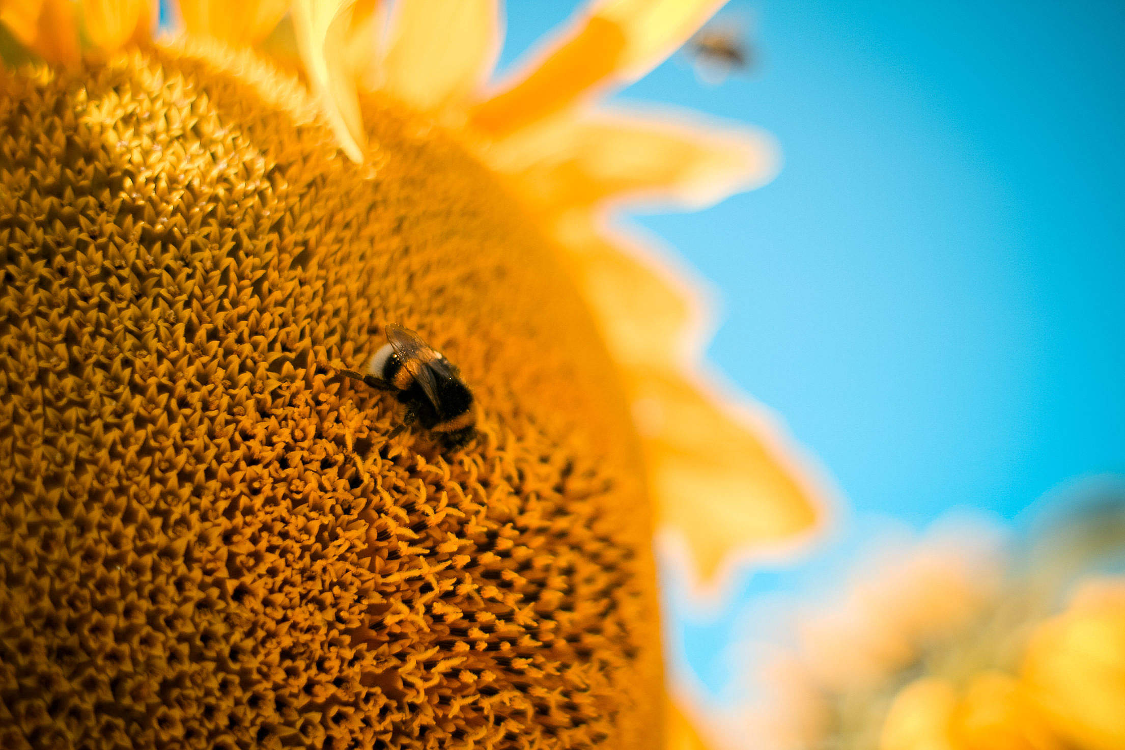 Bumble-Bee on the Sunflower Free Stock Photo