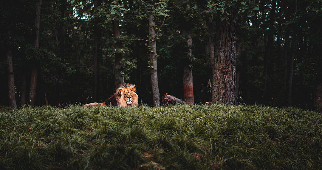 Download Calm Lion Looking into Camera FREE Stock Photo