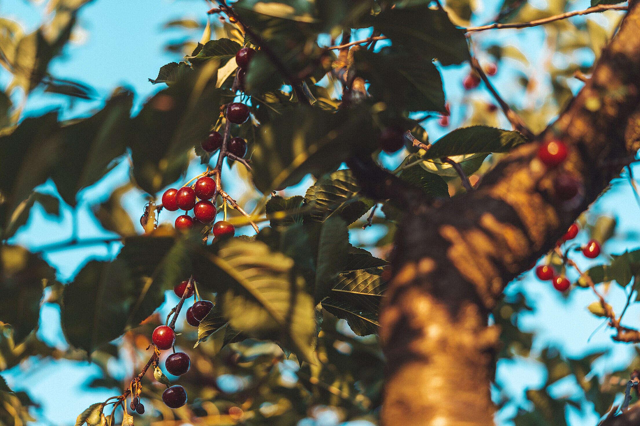Cherry Tree Free Stock Photo