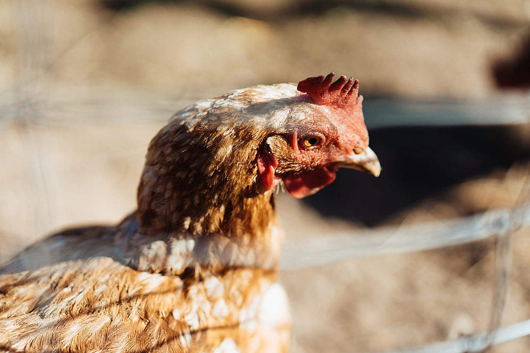 Download Chicken in Enclosure Close Up FREE Stock Photo