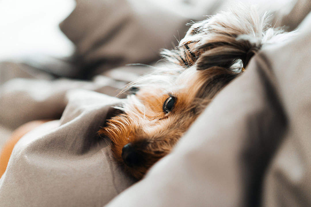 Download Close Up of Cute and Calm Yorkshire Terrier Dog Lying in a Bed FREE Stock Photo