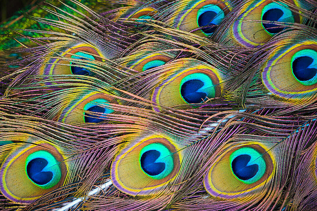 Download Colorful Peacock Feathers FREE Stock Photo