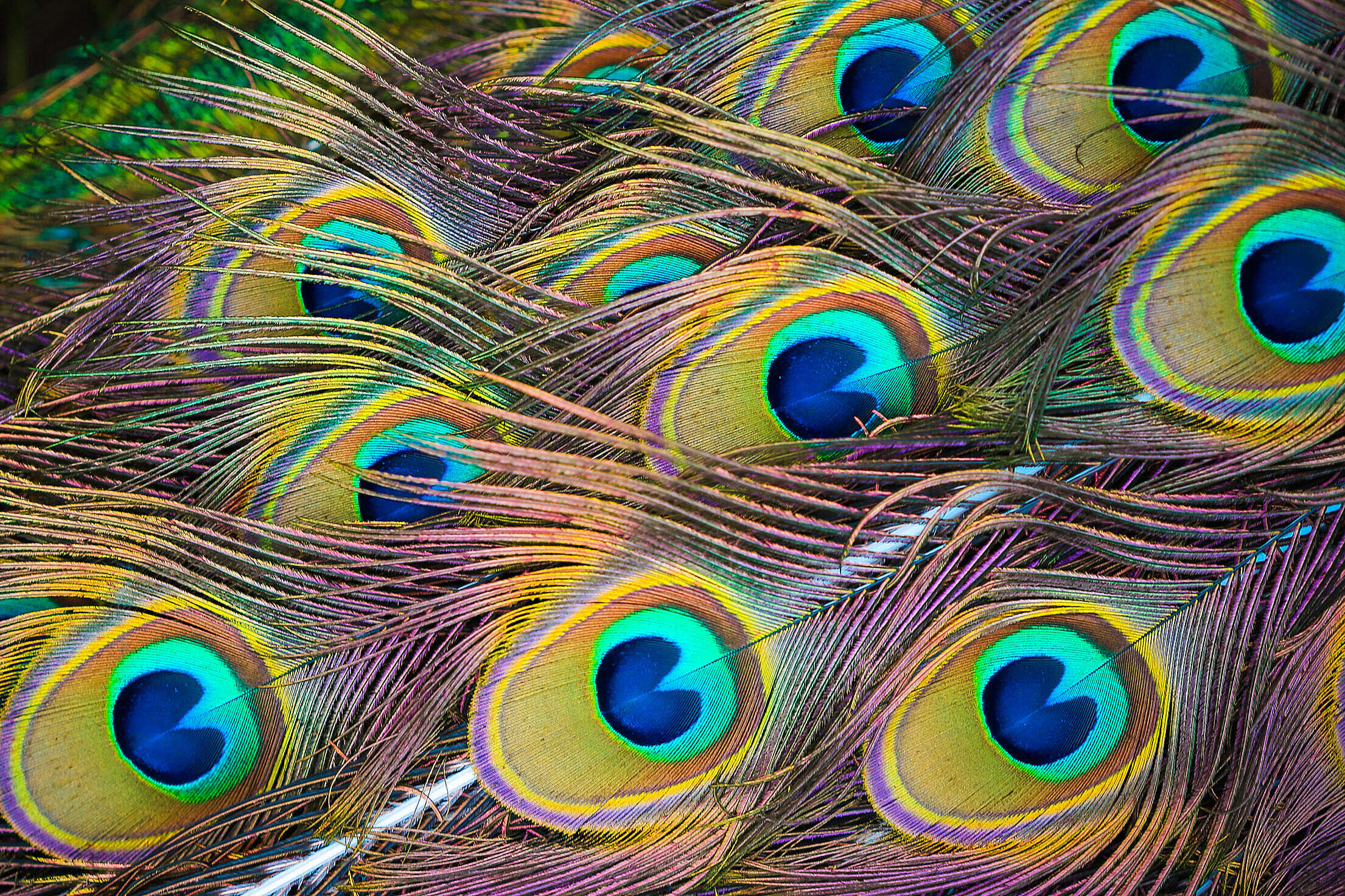 Colorful Peacock Feathers Free Stock Photo