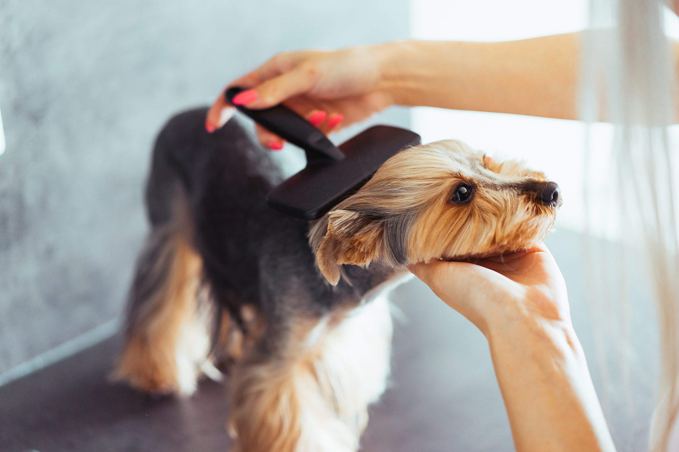 Combing The Head of Yorkshire Terrier Free Stock Photo