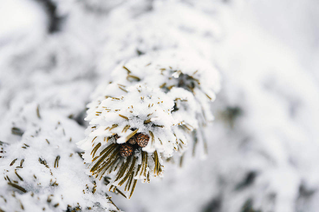 Download Conifer Branches Covered with Snow FREE Stock Photo
