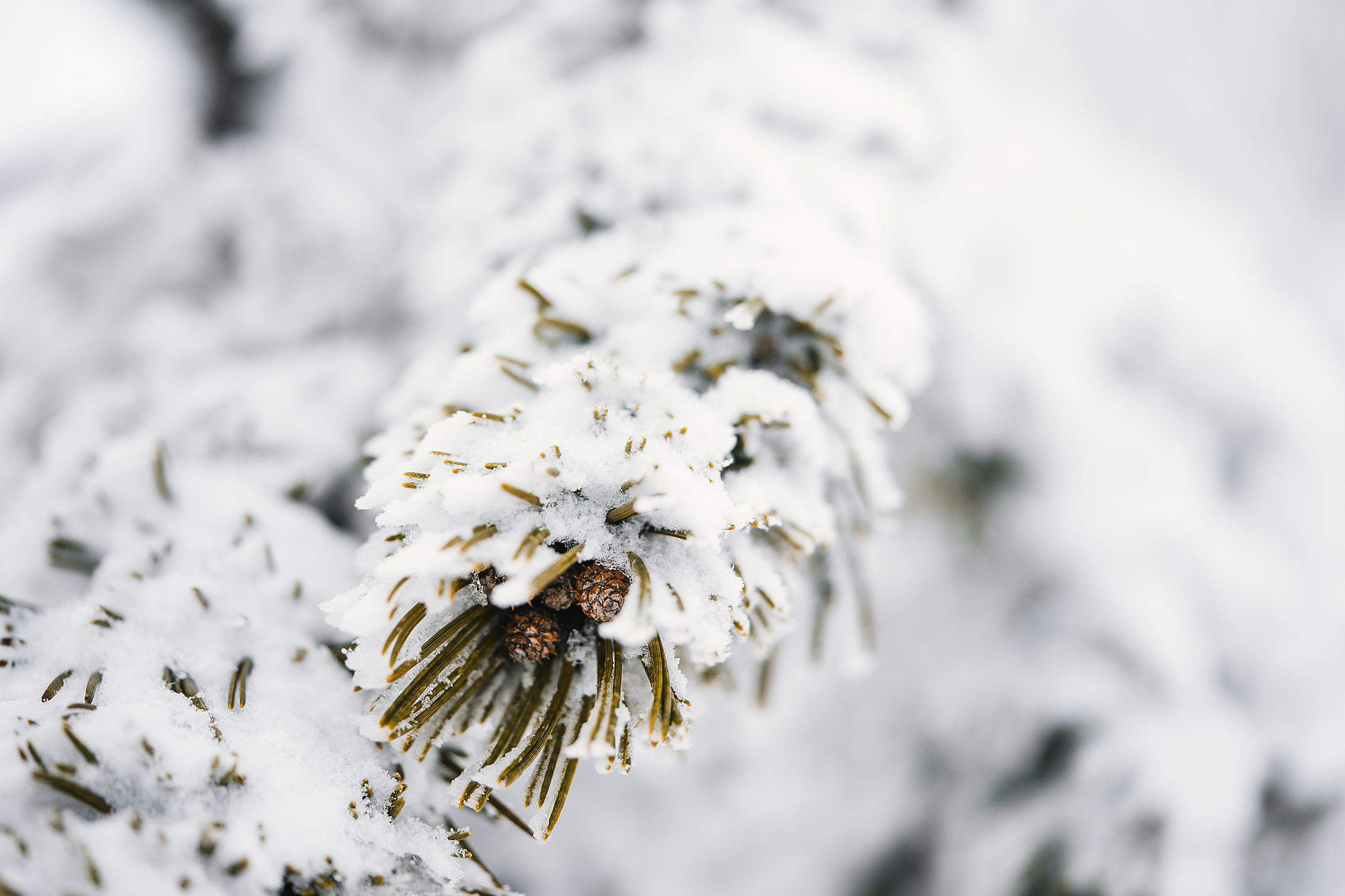 Conifer Branches Covered with Snow Free Stock Photo